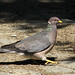 Flickr photo 'Band-tailed Pigeon' by: Beedle Um Bum.