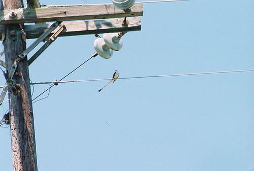 tennessee flycatcher scissortailed sequatchie