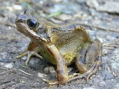 Monsal Head frog