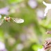 Small photo of Hoverfly in transit