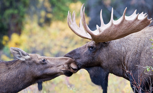 A Moose Moment of Affection
