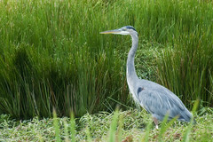animal, prairie, fauna, little blue heron, heron, pelecaniformes, beak, bird, wildlife, egret,