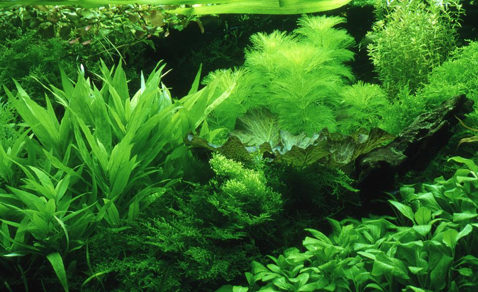 Underwater Garden (Dutch Aquarium) The traditional planted ...