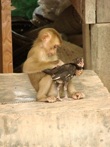 Monkeys grooming, A Monkey Grooms a Chicken Don Khon Island Laos