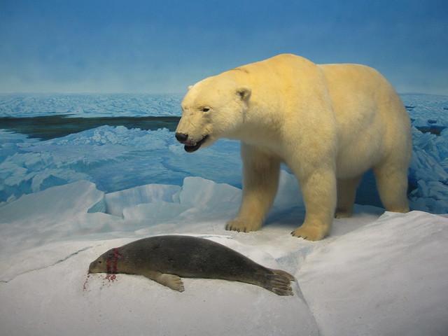 A polar bear killing a seal at an exhibit at the Manitoba Museum in Winnipeg