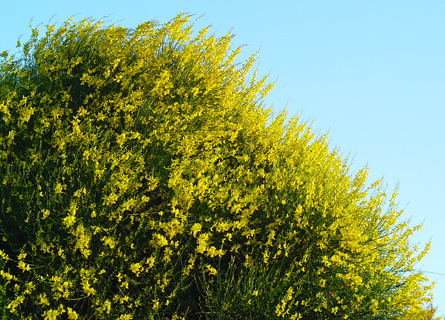 Planta de Spartium junceum