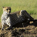 Africa Safari Sample Cheetah