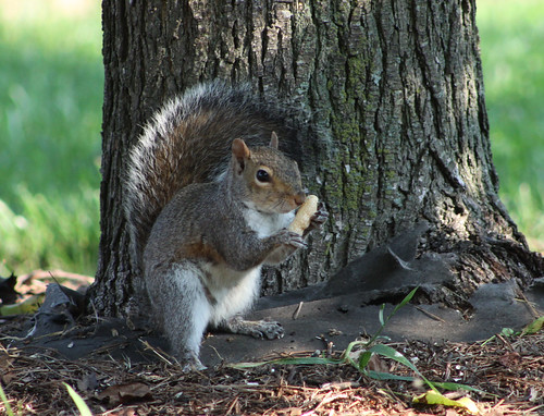 Mmmmmmm the smell of a fresh peanut - North Carolina State Mammal - Gray Squirrel
