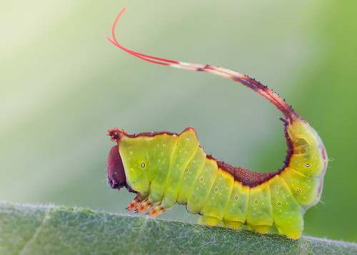 Young Puss Moth Caterpillar
