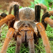 Tarantulas - Photo (c) Gertrud K., some rights reserved (CC BY-NC-SA)