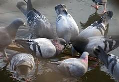 Jesus Pigeons