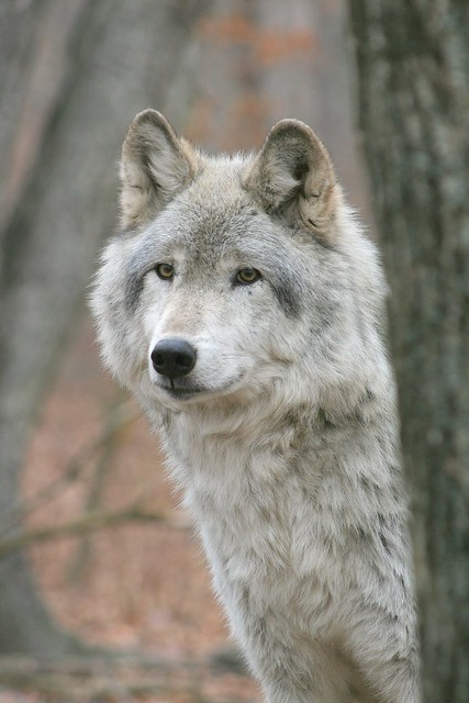 IMG#5460 TIMBER WOLF
