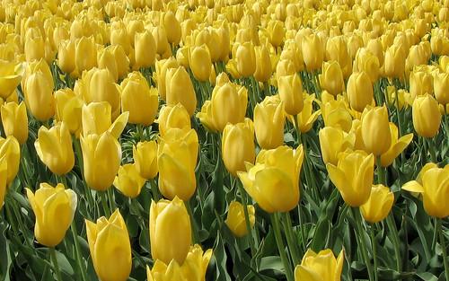 mass of yellow tulips
