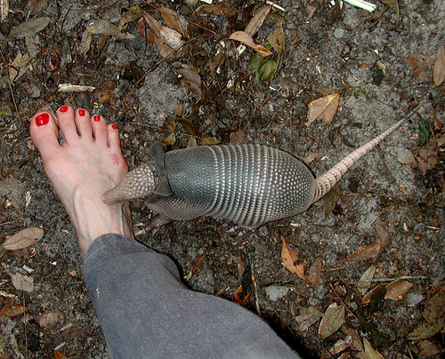 Nine-banded Armadillo Young & My Foot - Dasypus novemcinctus