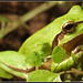 Common Tree Frog - Photo (c) Eran Finkle, some rights reserved (CC BY)