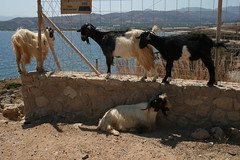 dog(0.0), sheep(0.0), mustang horse(0.0), cattle(0.0), cattle-like mammal(1.0), animal(1.0), pet(1.0), mammal(1.0), goats(1.0), herd(1.0), domestic goat(1.0), herding(1.0),