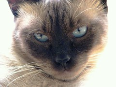 nose, animal, siamese, small to medium-sized cats, snout, mammal, thai, tonkinese, close-up, cat, burmese, whiskers, balinese, eye, domestic short-haired cat,