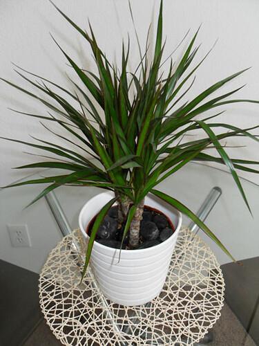 Dracaena marginata Madagascar  Plant Finder