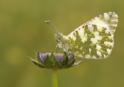Western Dappled White