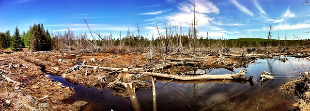 Plenty of signs of beaver action in the maine north woods for Plenty of fish maine