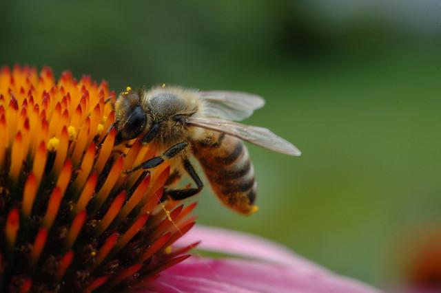200907011 Honey Bee 024
