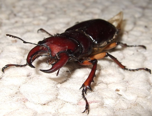 Reddish Brown Stag Beetle | Flickr - Photo Sharing!