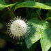 buttonbush - Photo (c) Carol Foil, some rights reserved (CC BY-NC-ND)
