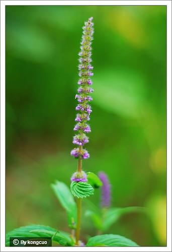 内蒙古植物照片-唇形科香薷属细穗密花香薷