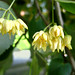 Small photo of Tilia americana - American Basswood flowers