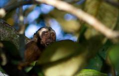 chimpanzee(0.0), tufted capuchin(0.0), capuchin monkey(0.0), white-headed capuchin(0.0), macaque(0.0), ape(0.0), animal(1.0), branch(1.0), monkey(1.0), mammal(1.0), fauna(1.0), spider monkey(1.0), old world monkey(1.0), new world monkey(1.0), jungle(1.0), wildlife(1.0),