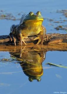 Ouaouaron / Bullfrog
