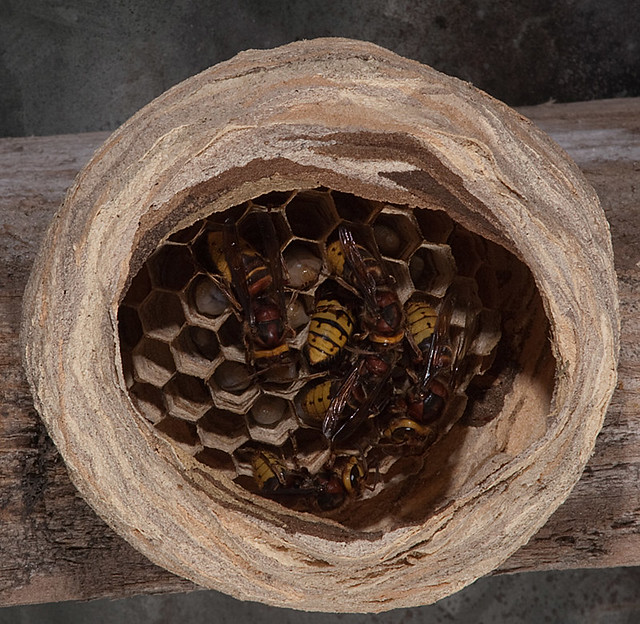 wasp european hornet nest flickr photo sharing