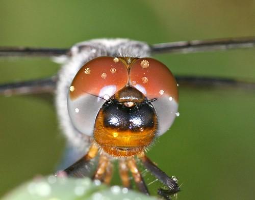 drops dragonfly blacksaddlebags tramealacerata supershot