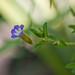 Limnophila sp. Flower