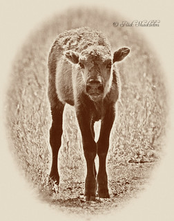 American Bison Calf (Buffalo)