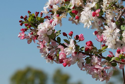 Malus floribunda -  Japanese Flowering Crabapple