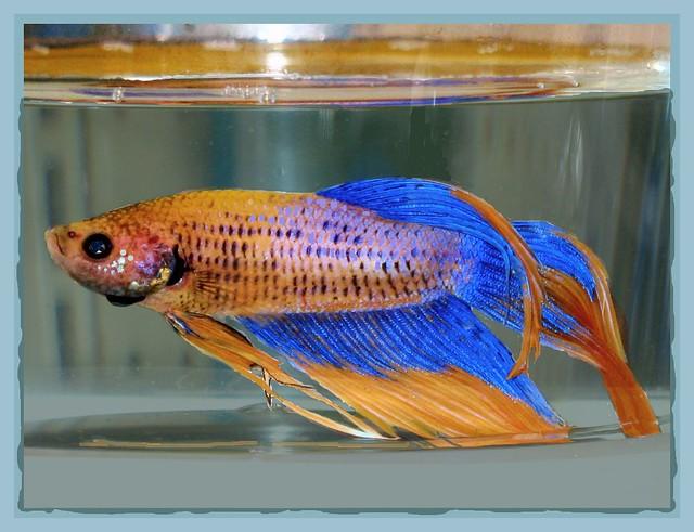 3760170918 2df2d59c25 for Walmart betta fish