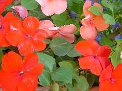 annual plant, flower, leaf, plant, herb, flora, busy lizzie, petal,