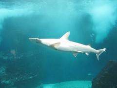 great white shark(0.0), animal(1.0), fish(1.0), shark(1.0), sea(1.0), marine biology(1.0), lamniformes(1.0), underwater(1.0), requiem shark(1.0), tiger shark(1.0),