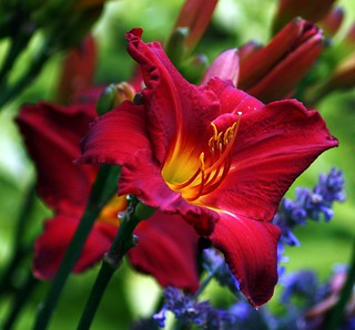 Red Hemerocallis