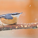 Nuthatch and snow