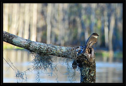 nikon phoebe springs eastern easternphoebe soe birdwatcher centralflorida digitalcameraclub silverriver nikond80 18200vrii goldstaraward natureandnothingelse