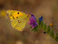 arthropod, pollinator, animal, moths and butterflies, butterfly, flower, yellow, nature, invertebrate, macro photography, wildflower, flora, fauna, close-up, colias, pieridae, wildlife,