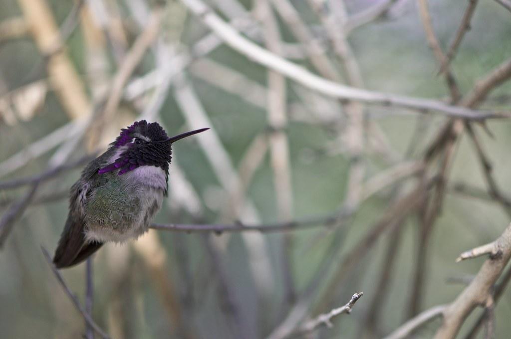 Angry Hummingbird