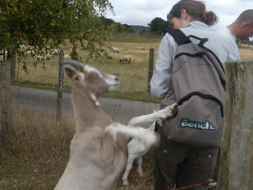 Frisky goat