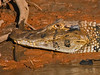 "<a href=""http://www.flickr.com/photos/kookr/3992900984/"">Photo of Melanosuchus niger by David Cook</a>"