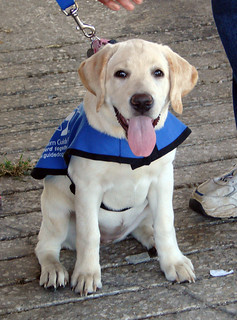 Born To Serve And To Love! Southeastern Guide Dogs - Pup In Training!