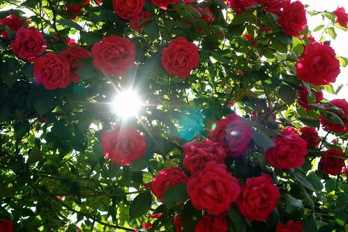 Rosas bajo el sol
