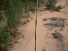 Baumea acuta leaf