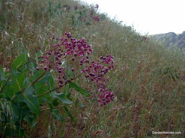 Asclepias - a gallery on Flickr